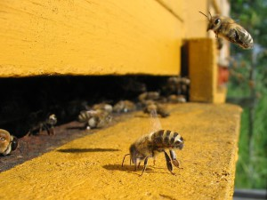 1280px-Honeybee-cooling_cropped
